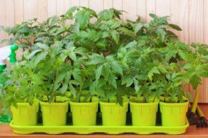Описание раннеспелого томата Новосибирский хит F1, характеристика плодов и урожайность