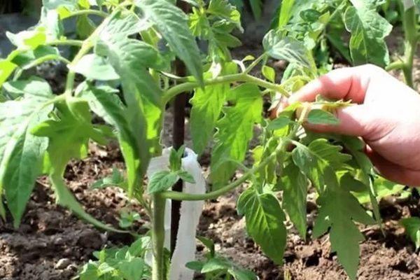Подвязка помидора