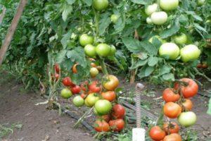 Описание томата Пинк Леди и выращивание голландским способом