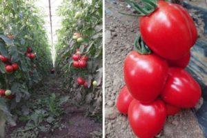 Описание томата Пинк Пионер и рекомендации по выращиванию