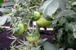 Описание томата Пинк Солюшн и рекомендации по выращиванию растения