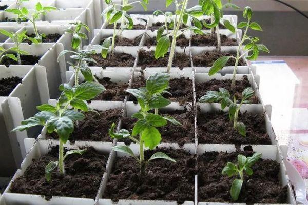 Ящики с рассадой