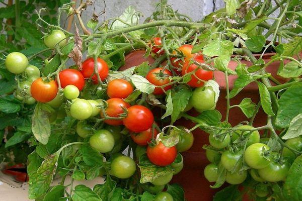 Куст помидора