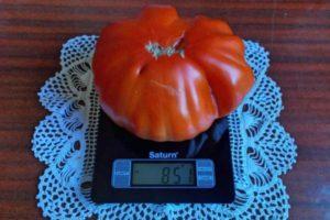 Описание томата Рим, выращивание и рекомендации по дальнейшему уходу