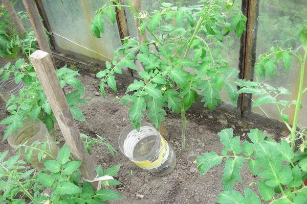 Полив помидора
