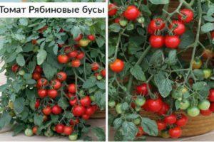 Описание сорта Рябиновые бусы и рекомендации по выращиванию