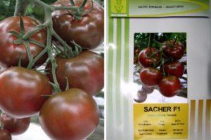 Описание томата Сашер F1 и отзывы огородников