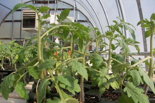 Ростки томатов