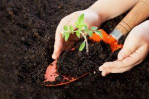 Описание томата Семеныч F1 и выращивание детерминантного сорта
