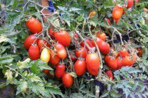 Описание томата Серебристая ель, характеристика сорта, выращивание