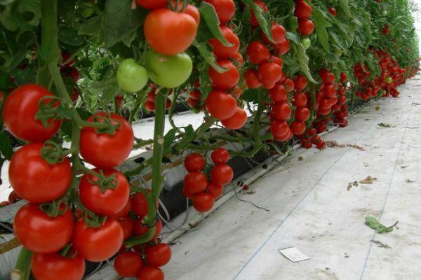 Культирование томатов