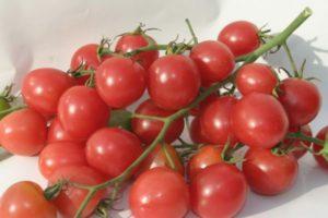 Описание томата Шалун, правила выращивания и урожайность