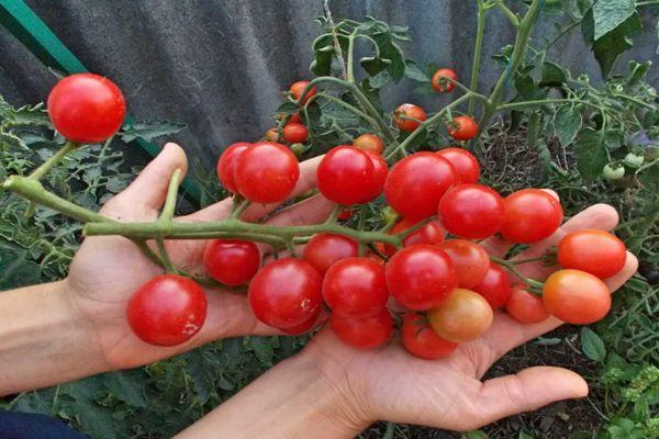 Ветвь с томатами