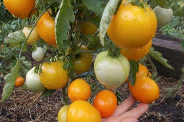Царские помидоры