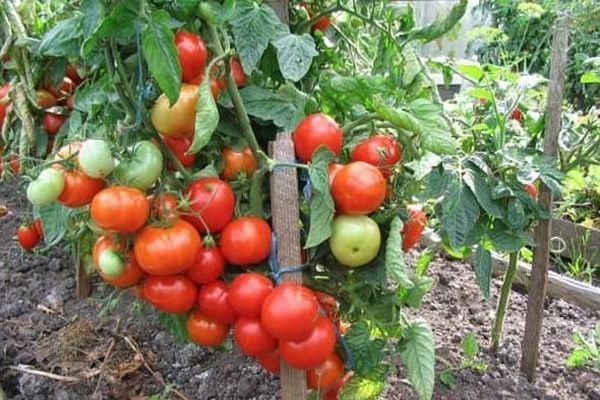 Подвязанный томат