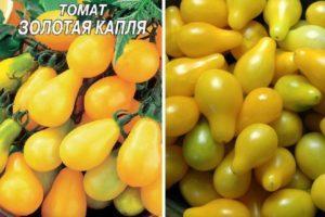 Описание томата Золотая капля и правила выращивания индетерминантного сорта