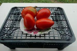 Описание детерминантного томата Баловень судьбы и рекомендации по выращиванию сорта