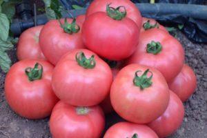 Описание раннего томата Розовая жемчужина и правила выращивания сорта