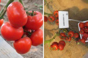 Описание и характеристики томата Аксиома f1, правила выращивания