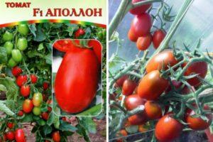 Характеристика томата Аполлон f1, культивирование и выращивание гибридного сорта
