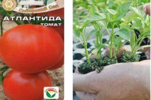 Характеристика томата Атлантида и особенности выращивания сорта