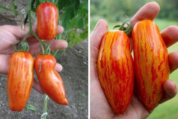 Полудетерминантный томат