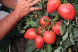 Описание гибридного томата Бонапарт, культивирование и выращивание рассады