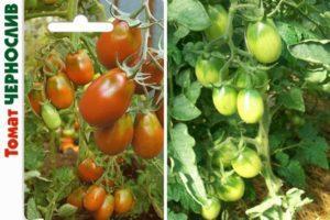 Описание томата Чернослив, выращивание в теплице и в открытом грунте