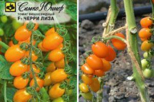 Описание томата Черри Лиза, культивирование и выращивание сорта