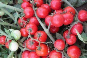 Описание томата Черринано и выращивание сорта в домашних условиях