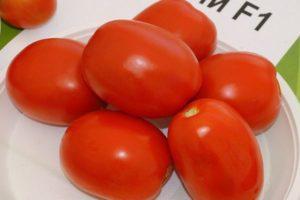 Описание томата Чибли и выращивание растения рассадным способом