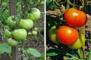 Описание гибридного сорта томата Данна, выращивание своими руками