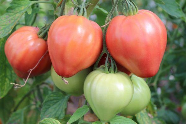 Куполовидные помидоры