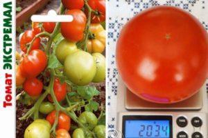 Описание гибридного томата Экстремал и характеристики плодов