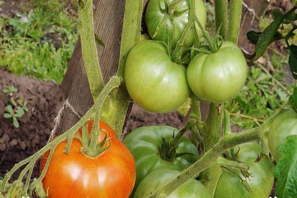 Кусты томатов