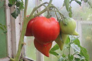Описание томата Фатер Рейн, выращивание и распространенные болезни растения
