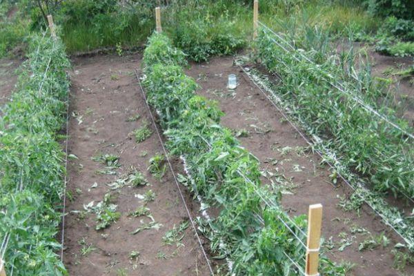 Грядки с помидорами