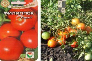 Описание томата Филиппок, выращивание и дальнейший уход