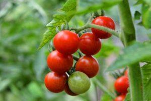 Описание детерминантного сорта томата Грот и выращивание рассады