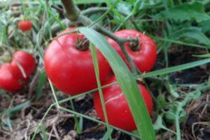 Описание раннеспелых томатов сорта Июньский и агротехника культивирования