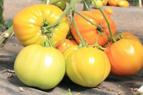 Белые томаты