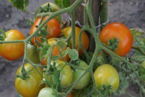 Описание томата Крон Принц и рекомендации по выращиванию на участке