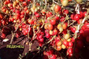 Описание сладкого томата Леденец и особенности выращивания сорта