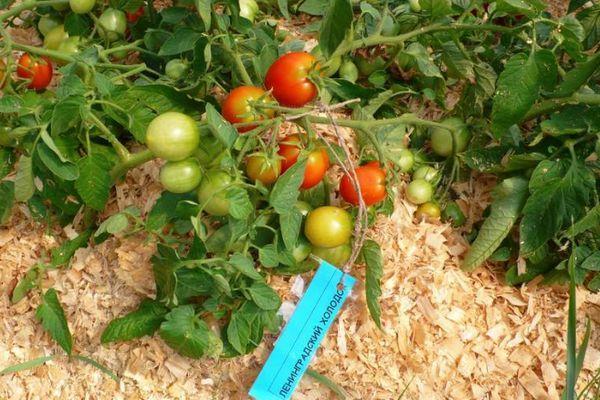 Ленинградские томаты