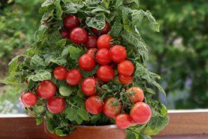 Описание и особенности выращивания томатов Лукошко на окошке