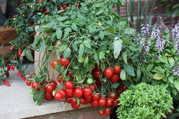 Горшок с томатами