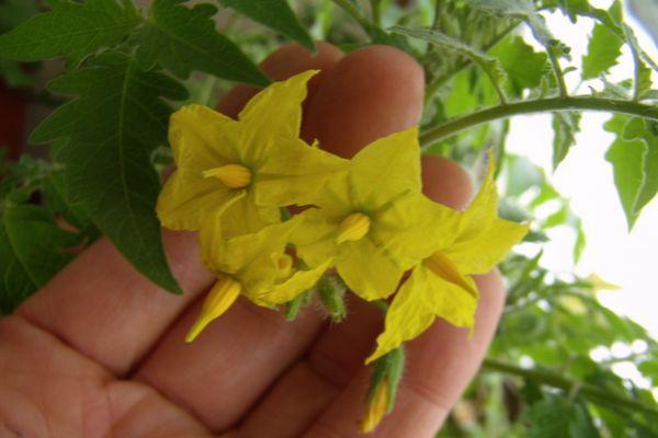 Цветки томата