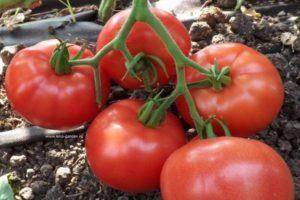 Описание томата Львович и рекомендации по выращиванию сорта