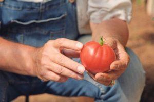 Описание российского томата Малиновая рапсодия и выращивание рассады