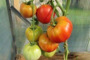Описание универсального томата Малиновый натиск, выращивание и борьба с вредителями